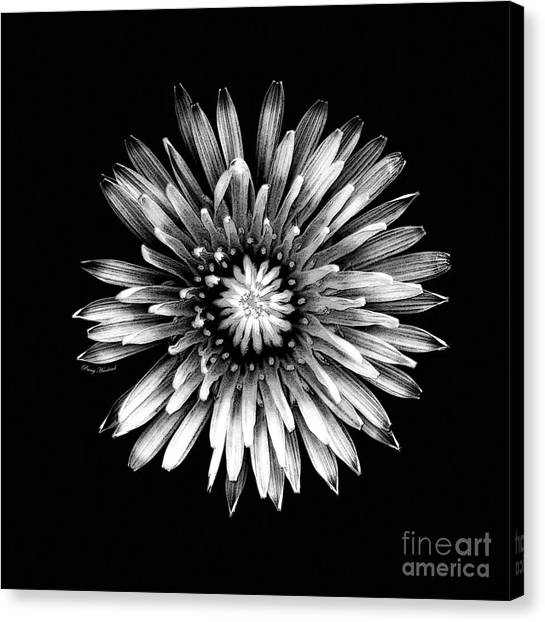 Black Dandy Canvas Print by Penny Haviland