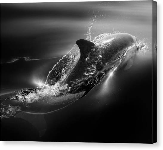 Dolphins Canvas Print - Black Dolphin by Steve Munch