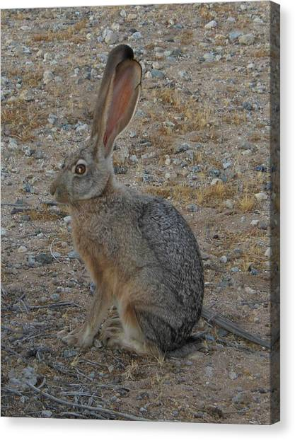Black Eared Jack Rabbit Canvas Print