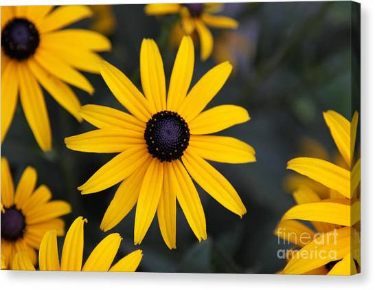 Black-eyed Susan Canvas Print by Chris Hill