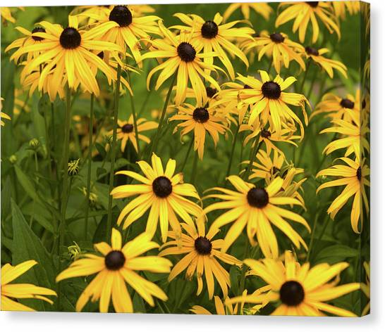 Black-eyed Susans Canvas Print by Stanley French