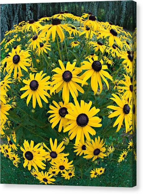 Black Eyed Susans Canvas Print