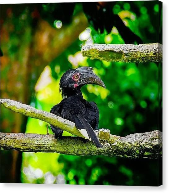 Hornbill Canvas Print - Black by Rahman Galela