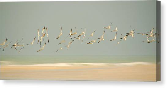Black Skimmers Canvas Print