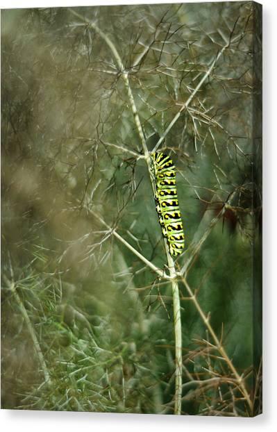 Black Swallowtail Butterfly Larva In Bronze Fennel Canvas Print