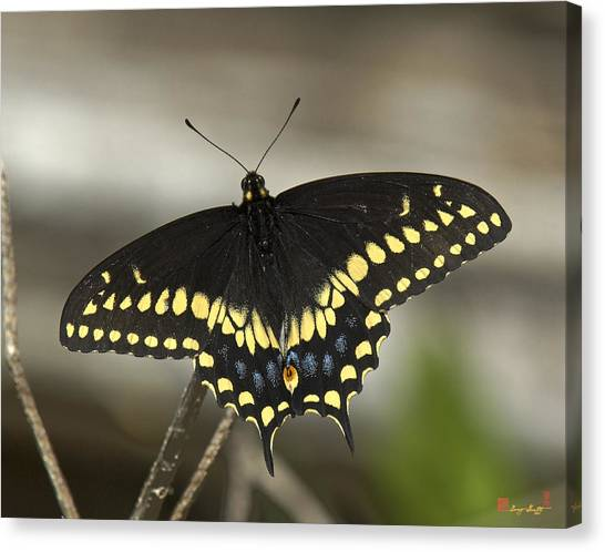 Black Swallowtail Din103 Canvas Print