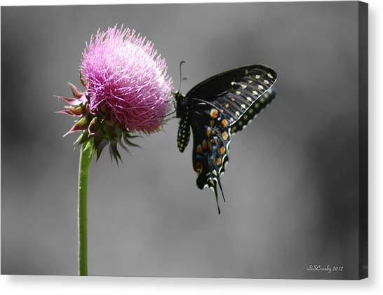 Black Swallowtail With Thistle Canvas Print