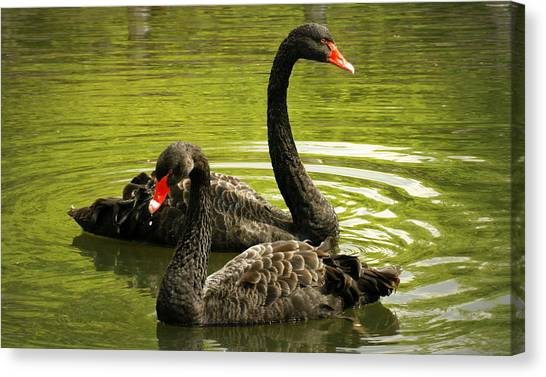 Black Swans Canvas Print by Jacqui Collett