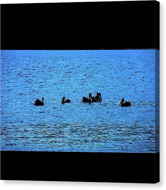 Swans Canvas Print - Black Swans Of Victoria Point by Avril O