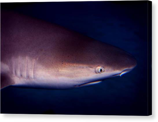 Black Tip Sharks Canvas Print - Black Tip Reef Shark by Anthony Jones