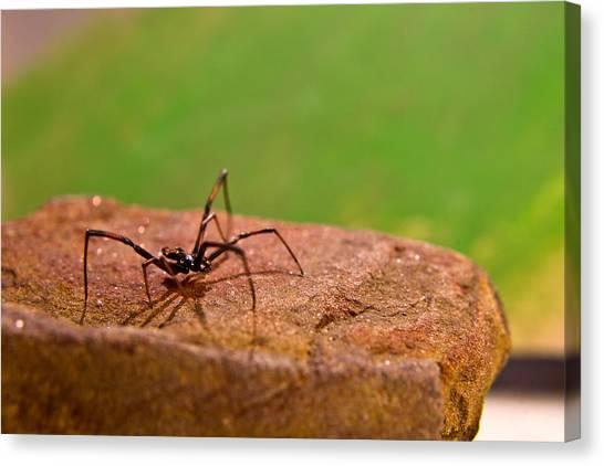 Black Widow Canvas Print - Black Widow Spider Male by Douglas Barnett