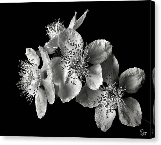 Blackberry Flowers In Black And White Canvas Print