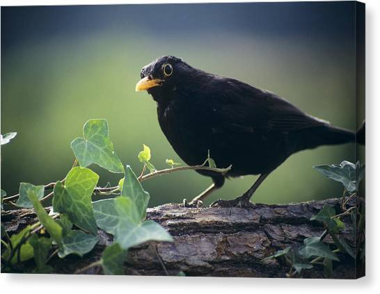 Blackbird Canvas Print by David Aubrey
