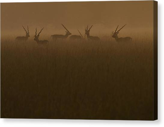 Blackbucks At Sunrise Canvas Print by Pramod Bansode