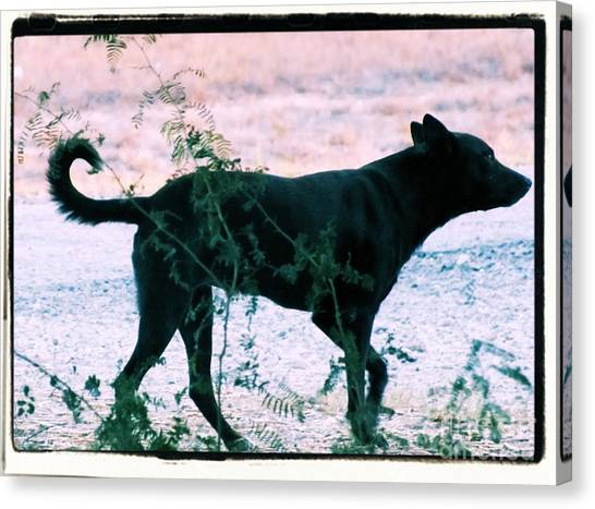 Blackdog Canvas Print
