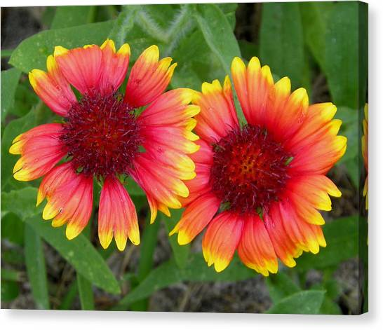 Blanket Flowers Canvas Print by Judy Wanamaker