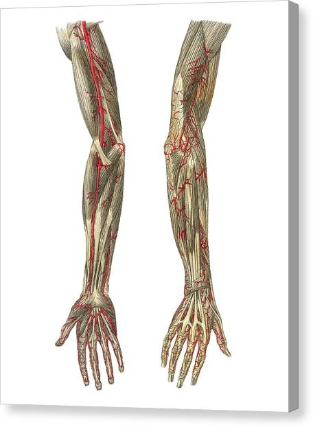 Blood Vessels Of The Arms, Artwork Canvas Print by Mehau Kulyk
