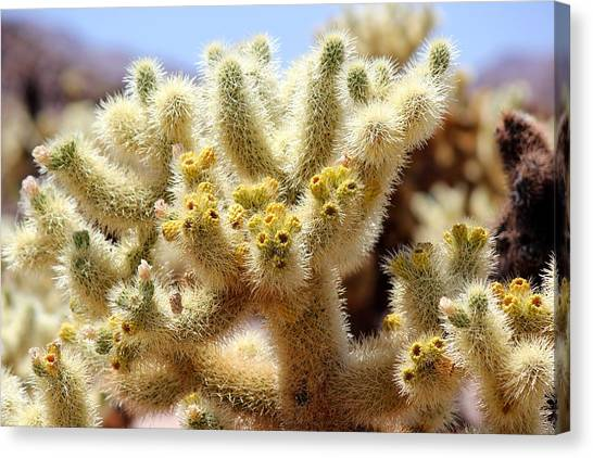 Blooming Cholla Canvas Print