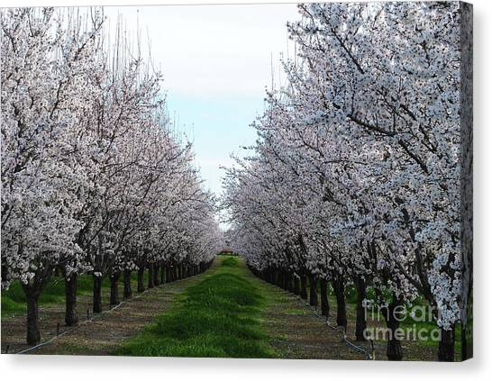 Blooming Orchard Canvas Print