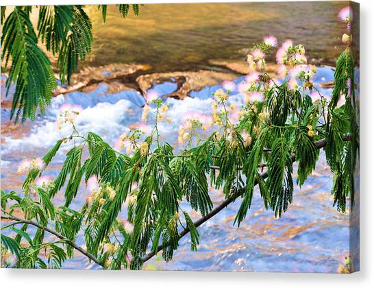 Mimosa Canvas Print - Blooms Over The River by Jan Amiss Photography
