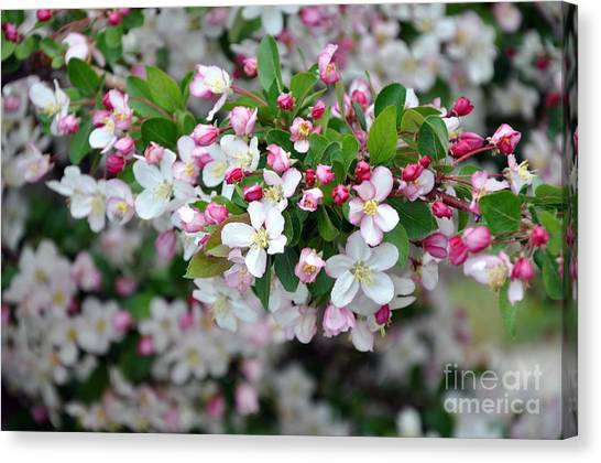 Blossoms On Blossoms Canvas Print