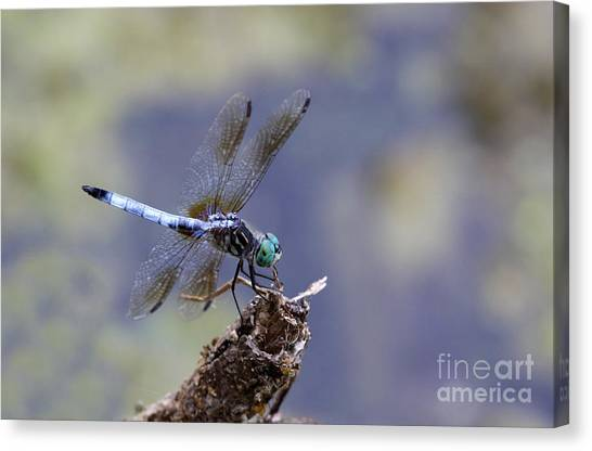 Blue Dasher Dragonfly Canvas Print by Chris Hill