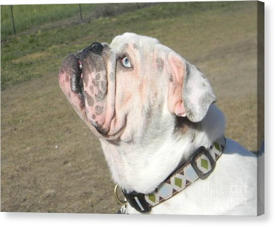 English Bull Dogs Canvas Print - Blue Eye Looking Up by DJ Laughlin