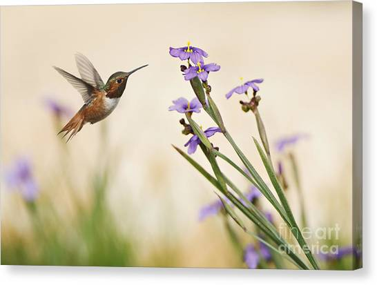 Blue-eyed Grass Wildflowers And Rufous Hummingbird Canvas Print