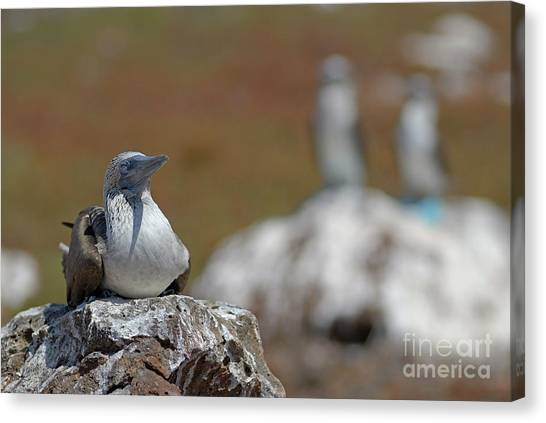 Blue-footed Booby  On Rock Canvas Print by Sami Sarkis