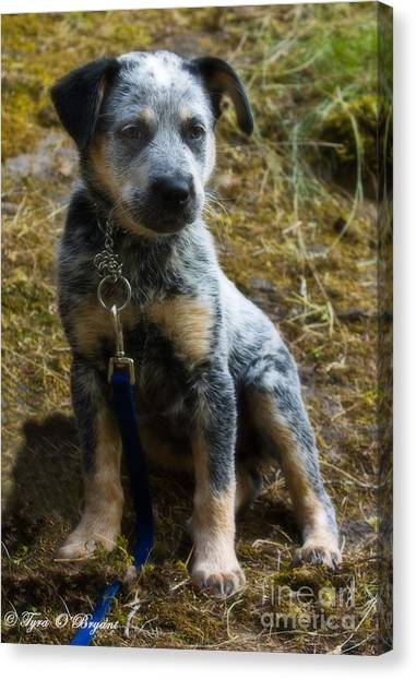 Blue Heeler Pup Canvas Print