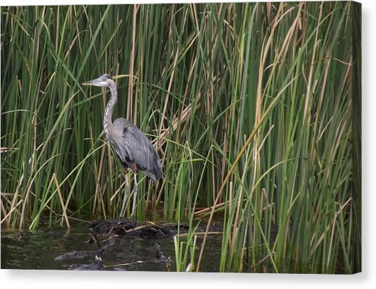 Blue Heron In Water  Canvas Print