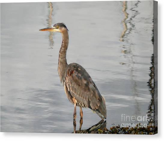 Blue Heron Wading Canvas Print