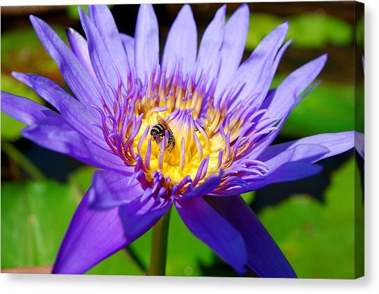 Blue Lotus And Honey Bee Canvas Print