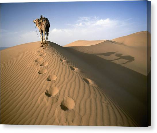 Camel Canvas Print - Blue Man Tribe Of Saharan Traders With by Axiom Photographic