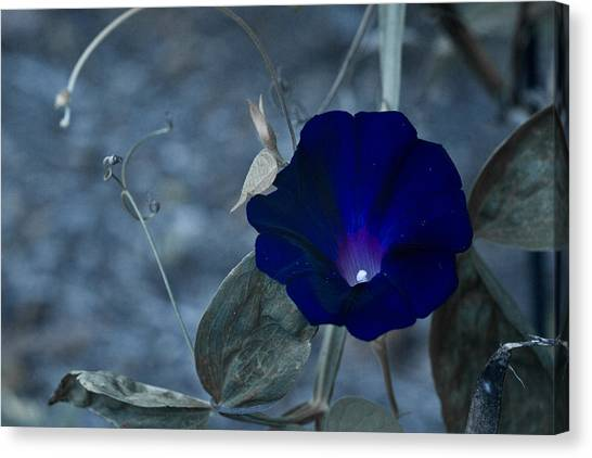Blue Petunia 2 Canvas Print