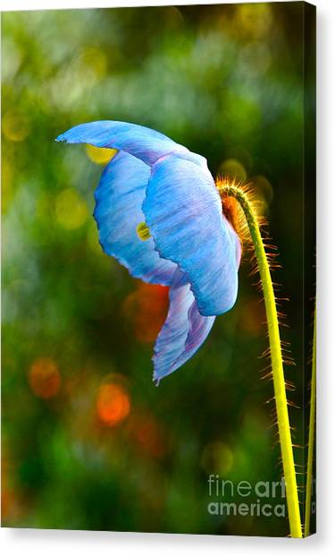 Blue Poppy Dreams Canvas Print