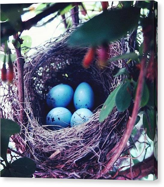 Robins Canvas Print - #blue #robin 's #eggs In A #nest In by Mariana L
