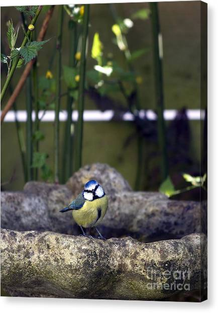 Titmouse Canvas Print - Blue Tit On Bird Bath by Jane Rix