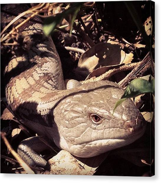 Lizards Canvas Print - Blue Tongue In The Garden. #garden by Darren Frankish
