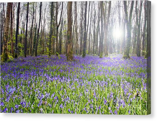 Bluebell Woods Kildare Ireland Canvas Print by Catherine MacBride