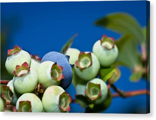 Blueberries And Sky Canvas Print
