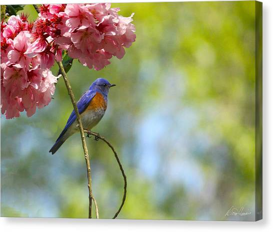 Bluebird In Cherry Tree Canvas Print