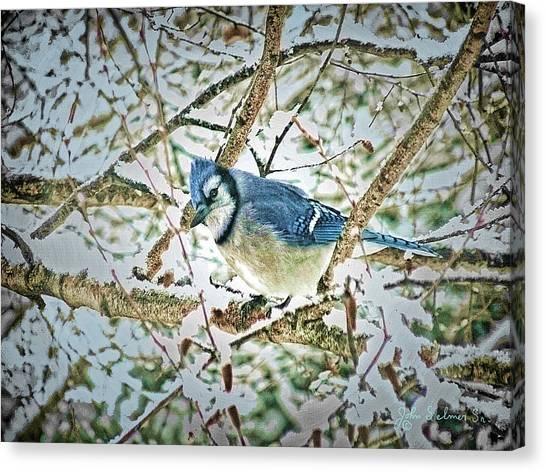 Bluejay In Birches Canvas Print by John Selmer Sr