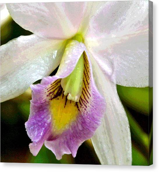 Blushing Orchid Canvas Print