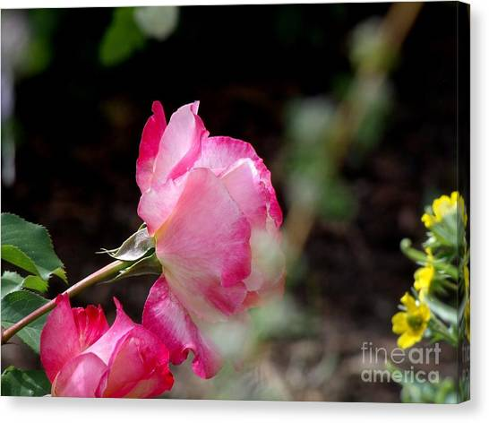 Blushing Pink Beauties Canvas Print by Donna Parlow