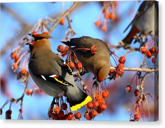 Bohemian Waxwings Canvas Print