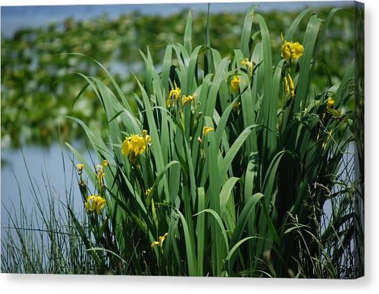 Bokeh Of Yellow Flag Water Iris Canvas Print