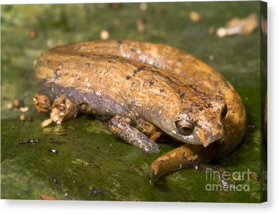 Salamanders Canvas Print - Bolitoglossine Salamander by Dante Fenolio
