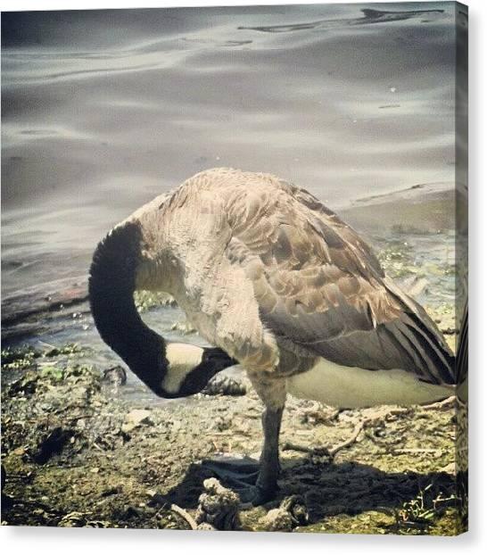 Geese Canvas Print - #bonelli #park #wildlife #goose #land by Alex Aguilar