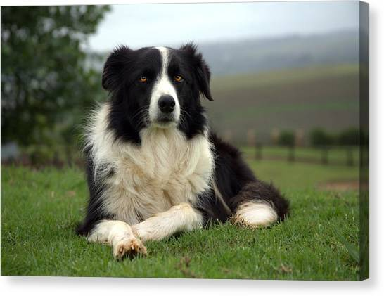Border Collie Canvas Print by Miguel Capelo
